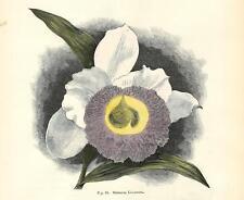 Stampa antica FIORI ORCHIDEA SOBRALIA LUCASIANA botanica 1896 Antique print