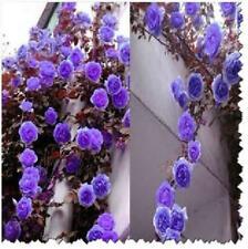Purple Climbing Rose Bush 20 or 100 Seeds~Rare-Free Shipping-USA Seller