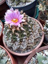 Shoopy Star 10 Ariocarpus retusus MD55 Seeds Seeds Korn semillas Rare no astrophytum