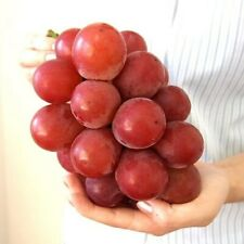 RARE JAPAN vitis vinifera table grapes RUBY ROMAN 10+ seeds
