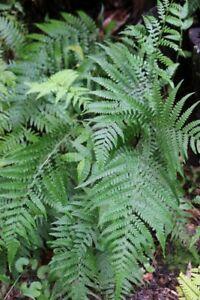 Native Fern - Deparia petersenii ssp. congrua