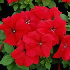 0.1g (appr.800) large flowered petunia grandiflora seeds PETUNIA GRANDIFLORA red