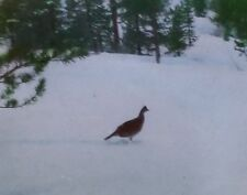 Female Grouse, Gunnison National Forest, Colorado, Magic Lantern Glass Slide