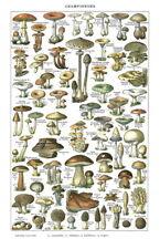 """011 Mushroom - Fungus Botany 24""""x37"""" Poster"""