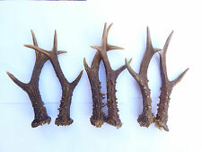 More details for one pair of scottish roe deer antlers  18cm.-21cm.