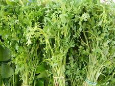 Coriandrum Sativum Thailand Herb Vegetables Fragran Seeds หอมแย้ ผักชีไร่ กอใหญ่