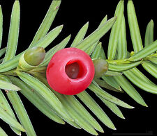 Taxus baccata - English Yew - 20 Fresh Seeds