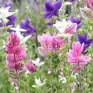 Herb - Sage Painted - 200 Seeds