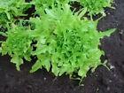 3000 OAK LEAF LETTUCE Lactuca Sativa Seeds +Gift CombSH