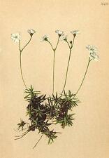 Alpes FLORE ALPINE FLOWERS: ANDROSACE lactea K-milchweisser Manns bouclier; 1897