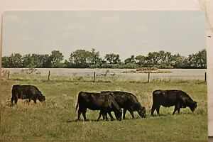 Nebraska NE Cow Cattle Black Angus Postcard Old Vintage Card View Standard Post