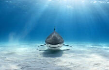 Framed Print - Great White Shark Swimming in the Ocean (Picture Poster Fish Art)
