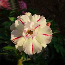 5 pcs Desert Rose flower Adenium obesum WHITE RED Stripes Seeds #A033