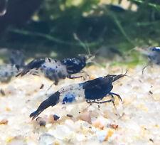 1+ Carbon Rili Shrimp Neocaridina Dwarf Shrimp Aquarium Pets, Algae Eaters