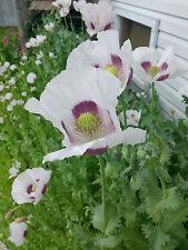 3 Grams Tasmanian Poppy Seeds (Papaver Somniferum) White/Purple (2000+ seeds)