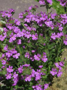 Erinus Alpinus(Fairy Foxglove) -Easy Dwarf Alpine Rock Garden Plant in 9cm Pot