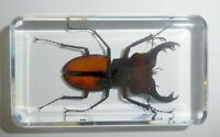 Fortune Stag Beetle Lucanus fortunei in Clear Block Education Insect Specimen
