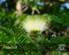 10 Samen Regenbaum - Albizia lebbeck - Woman's Tongue Tree seeds -  Mimosa