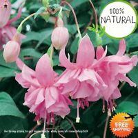 Color Lantern Flower Seeds Plants Flores Fuchsia Hybrida Hort Mixed 200pcs/bag