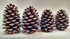 30 Georgia Pine Cones Natural Arts Crafts Firestarters Wedding Home Decor Brown