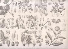 1850 Tavola botanica Piante, foglie, varie specie botaniche, pino.. xilografia