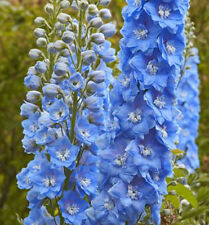 PERENNIAL FLOWER DELPHINIUM PACIFIC GIANT SUMMER SKIES 55 FINEST SEEDS