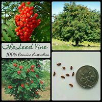 20+ EUROPEAN ROWAN TREE SEEDS (Sorbus aucuparia) Mountain Ash Hardy Fruit
