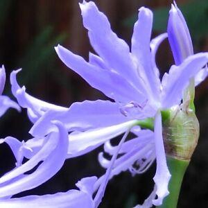 """Rare Griffinia espiritensis! - Endangered """"Mini Worsleya""""/""""Blue Amaryllis"""""""