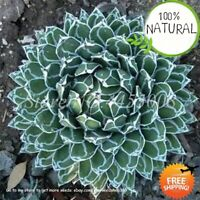 Aloe Cacti Agave Seeds Plants Bonsai Succulent Agaveamericana Mixed Rare 100pcs