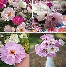 35x Vanillemark Cosmos Samen Saatgut Pflanze Garten Rarität Neu Blumen #371