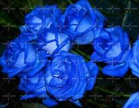 200pcs blue Rose Seed Professional Seedling floer Plant Selection garden flowers
