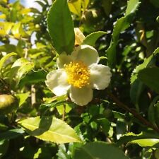 PRE-ORDER Fresh Green Tea plant seeds - Camellia sinensis 10 Seeds