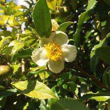 PRE-ORDER Fresh Green Tea plant seeds - Camellia sinensis 10 Seeds