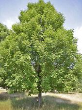 White Ash ''Fraxinus americana'' Tree 7 - Finest Seeds.UK SELLER