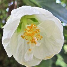 WHITE LANTERN Abutilon prolific flowering hardy plant in 140mm pot