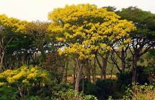 Jacaranda Gialla Schizolobium Parahyba