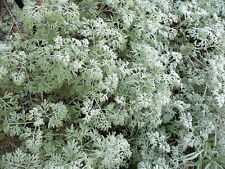 500 ABSINTHE WORMWOOD Common Artemisia Absinthium Green Ginger Herb Flower Seeds