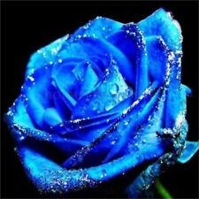 Lover Charming Bush Midnight Supreme Seeds Rare Blue Rose Seeds 50Pc♫