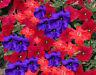 Petunia Seeds 50 Pelleted Seeds Logro Lowrider Mix Large Flowers