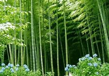 100 Moso bamboo Seeds Phyllostachys Pubescens Giant plant Very Rare