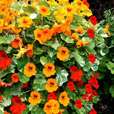 NASTURTIUM TOM THUMB MIX - 80 seeds - Tropaeolum minus nanum - ANNUAL FLOWER