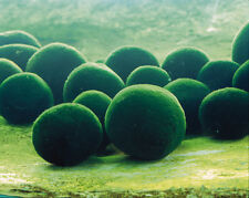 6X Moss Balls * TROPICAL FRESHWATER PLANT *