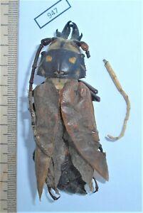 #947 Insects Beetles Cerambycidae Callipogon relictus M RARE Russia Primorye