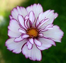 """Cosmos bipinnatus """"Fizzy Rose Picotee"""" x 20 seeds  Very easy to grow."""