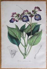 van Houtte: Garden Flowers Gesneria Chirita from Asia  - 1846#