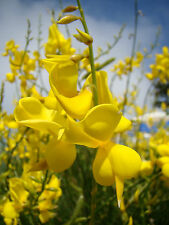 2x evergreen, Summer flowering shrub, Spanish Broom, SPARTIUM JUNCEUM, 20cm tall