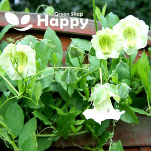 CUP AND SAUCER VINE WHITE - 15 seeds - Cobaea scandens - ANNUAL CLIMBER FLOWER