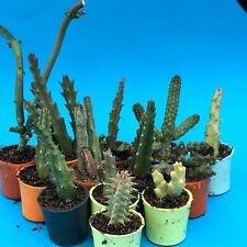 927. Set of 13 different Huernia, Stapelia, Ceropegia, Piaranthus, Orbea...