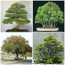 10 semi di Ulmus parvifolia, Olmo cinese , semi bonsai