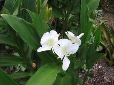 Ginger - White Ginger Lily Rhizome